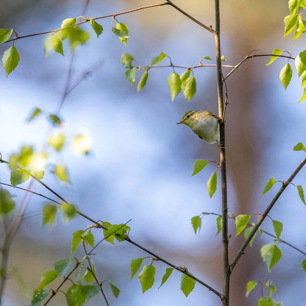 Grönsångare / Wood Warbler, Vombs fure 2020