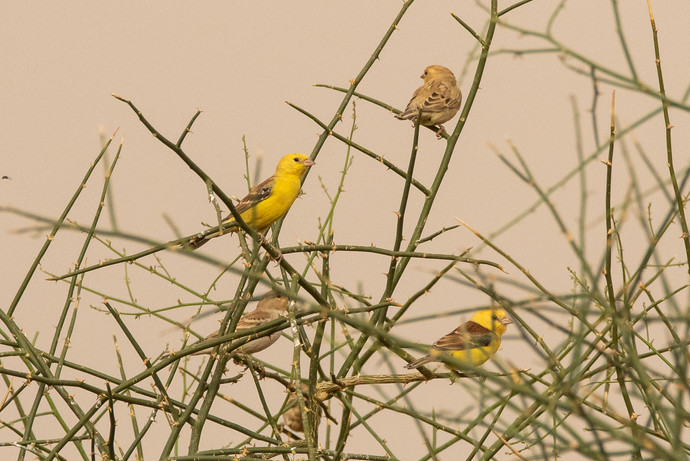 Sudan Golden Sparrow
