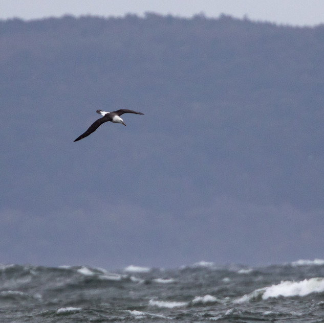 Svartbrynad albatross