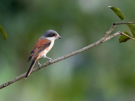 Fågelbilder från Kaeng Krachan