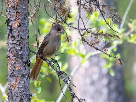 Fågelresa till Lappland