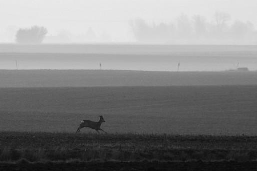Springande rådjur / Running roe deer