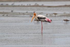 Indisk ibisstork