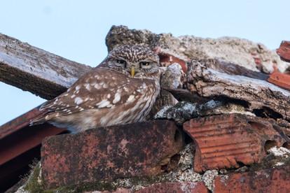 Minervauggla / Little Owl