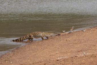West African Nile crocodile