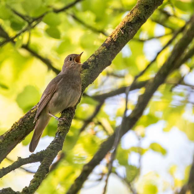 Näktergal / Thrush Nightingale, Krankesjön 2020