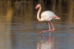 Större flamingo / Greater Flamingo