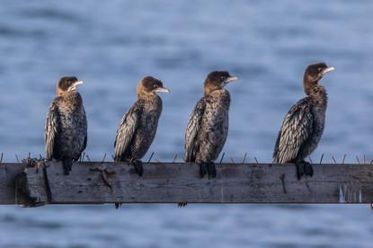 Dvärgskarv / Pygmy Cormorant