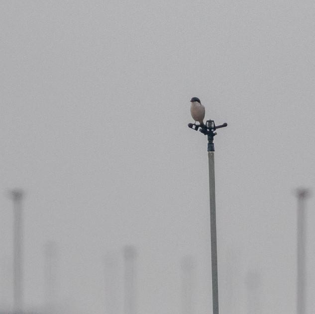 Iberisk varfågel