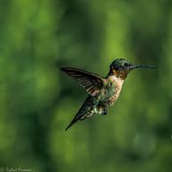 Hummingbird in New Jersey