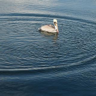 Pelikan, kurz nach dem Sturz ins Wasser