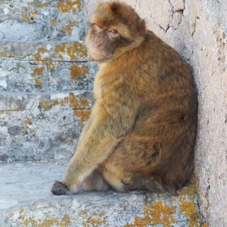 Auch sie sind uns begegnet, die Affen von Gibraltar ...