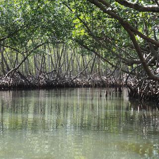 Fahrt durch Mangrovenwald im Nationalpark Los Haitises ...