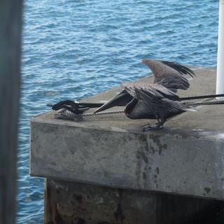 Ein Pelikan wartete neben dem Schiff auf Futter.