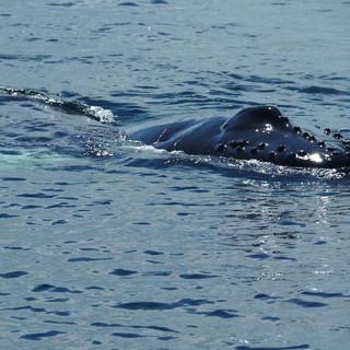 Erster Hinweis auf Wale, die sich vor der Bucht von Samana treffen.