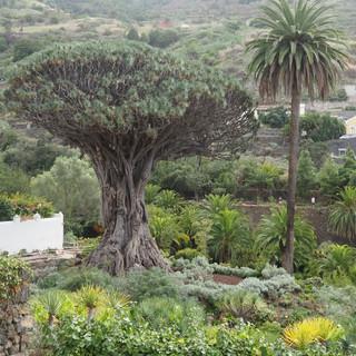 Der älteste Drachenbaum - wird berichtet