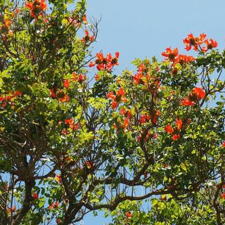 """Ein """"Tulpenbaum"""" streckt seine Farbenpracht in den Himmel"""