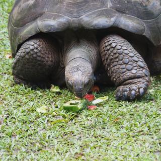 ... und schon gar nicht bei den Riesenschildkröten.