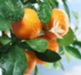 tangerines.jpg.webp