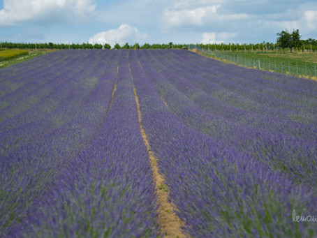 Provence, Jižní Morava, Lavandia