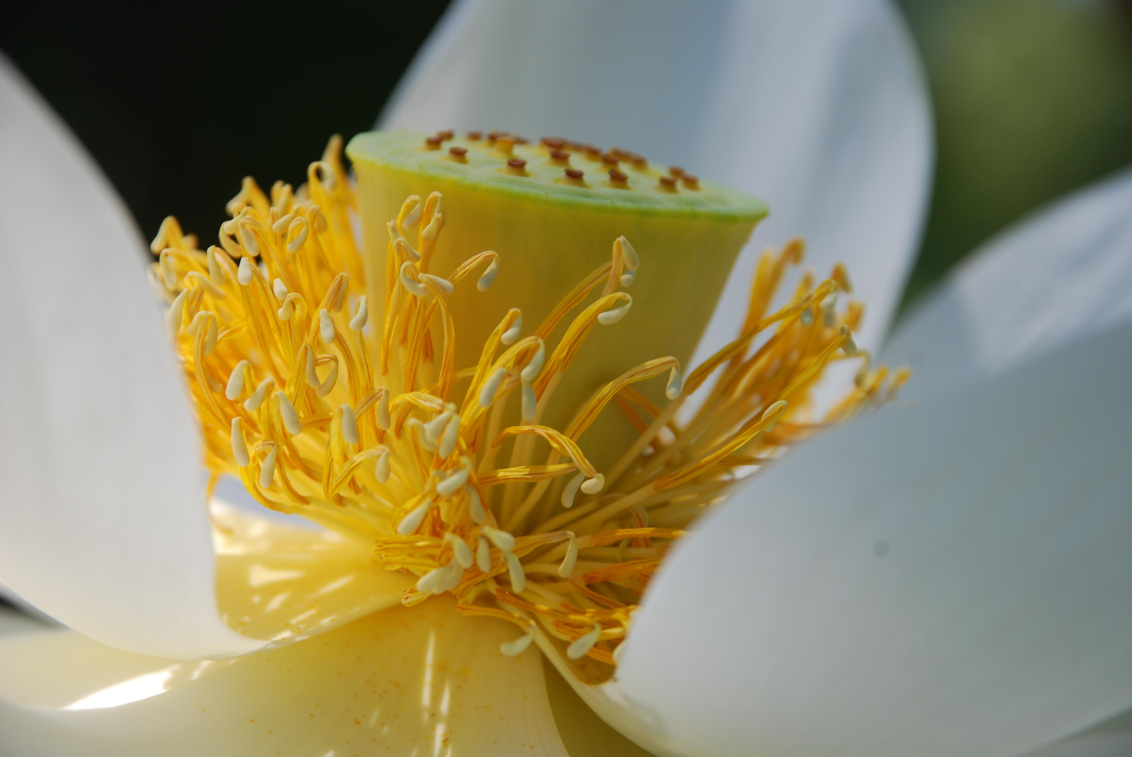 Flor de Loto, Misiones
