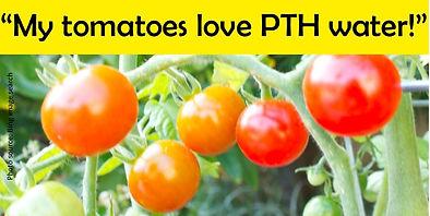 tomatoes 20200819 b.jpg