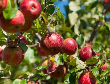 Growing Fruit Trees for Beginners