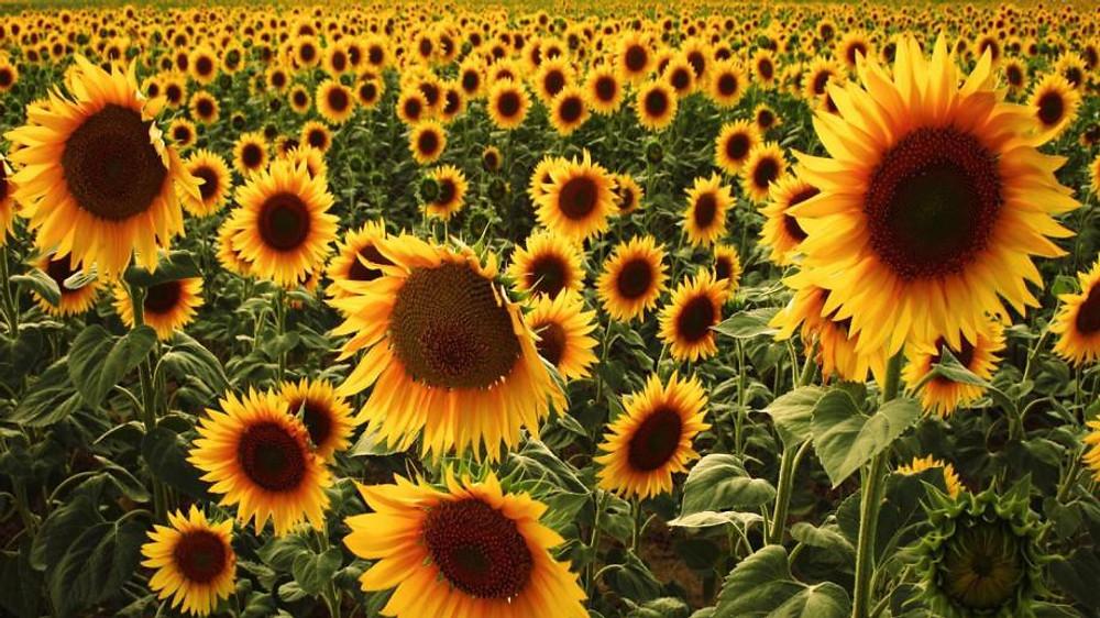 sunflowers-used_6789ef447adf6da4