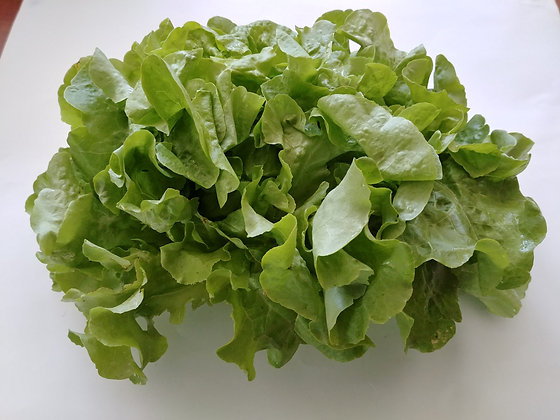 Lettuce / Laitue, Head, Organic
