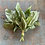 Thumbnail: Basil / Basilic, Organic
