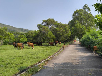 Cows in Sheung Shui 上水