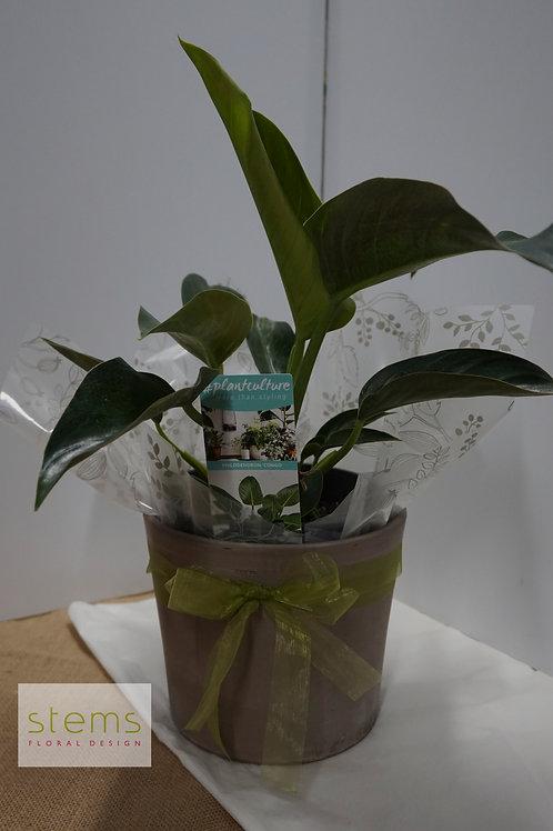 PLANT - Philodendron 'Congo' in Ceramic Pot