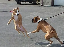 dogs reacting on leash.webp