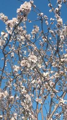 Almond tree in February.JPG