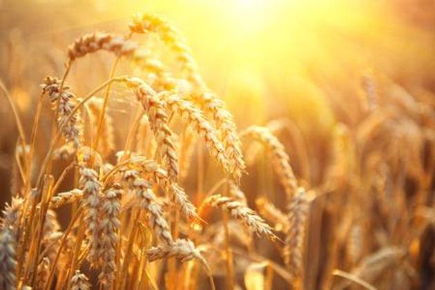 wheat field 1.jpg