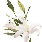 funeral lilies.jpg