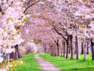 明日は桜祭り🌸 THE CREAM SHOW🇱🇾