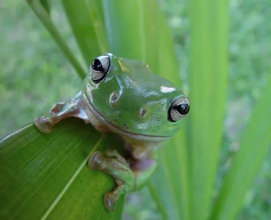 kambofrog3.webp