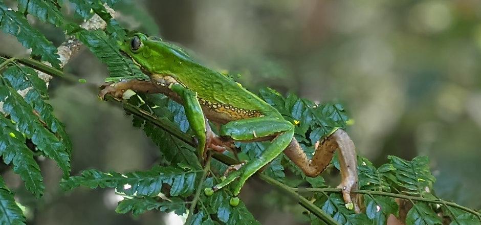 froggieperu2.jpg