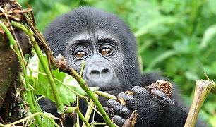 Ruanda-Gorillatrekking-Privatreisen.jpg