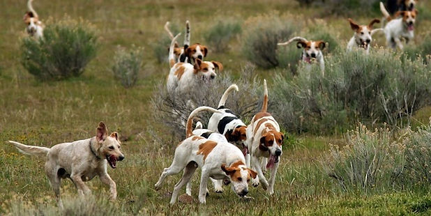Hounds foxhunting at Bijou Springs in Colorado