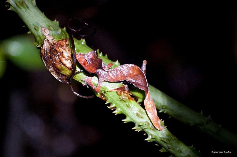"""""""Gecko"""" Guatemala Autor Kike Gadea"""