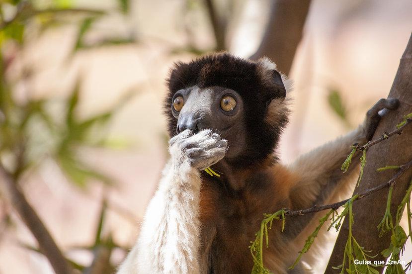 """Lemur"" Madagascar Autor Kike Gadea"