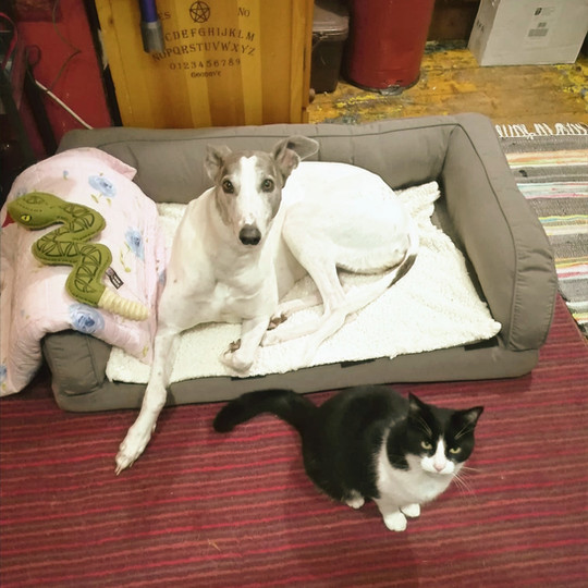 The simple fact is greyhounds can in many cases learn to live with cats in total harmony, but this takes time, vigilance and patience.