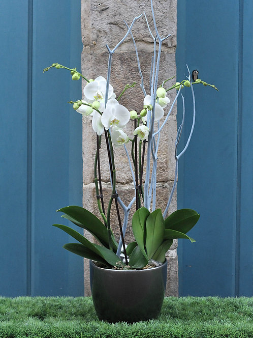 Orchidées en pot