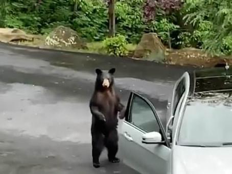 Как остановить медведя, собравшегося угнать ваш автомобиль? (ВИДЕО)