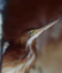 Rehabilitated least bittern
