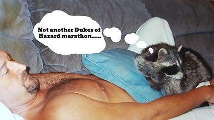Rehabilitated raccoon won't leave.