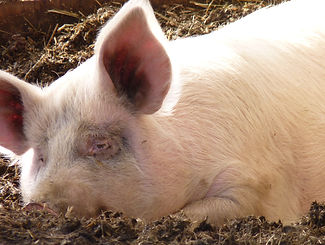 Apples: one of many fell-off-the-truck pigs