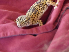 Very old leopard gecko